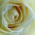 Rose, weiß