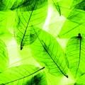 Blätter, transparent grün